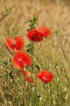 plant flower poppy Papaver_rhoeas_LC0050
