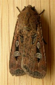 Agrotis_infusa Bogong Moth 11-26