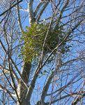 Mistletoe SilverBirch Unhewn Stone