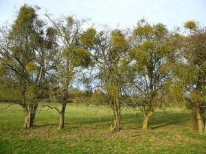 800px-Mistletoe_Abundance_Wye_Valley