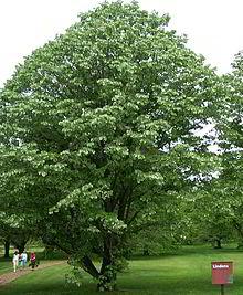 plant 220px-Tilia_tomentosa