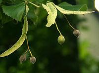 plant Tilia_platyphyllos_Owoce_lipy_656