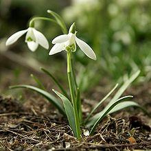 plant motif flower snowdrop Galanthus_nivalis