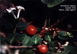 plant partridge berry