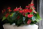 plant flower Turenza Anthurium