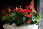 plant flower Turenza Anthurium