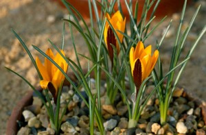 cloth of gold crocus flower plant