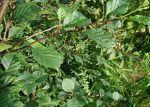 fearn alder Alnus-viridis-leaves
