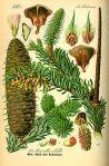 fearn silver fir ailim Abies_alba
