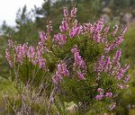Celtic Tree Month Huath Hawthorn heather
