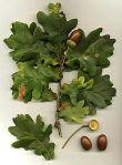 duir oak Quercus_robur
