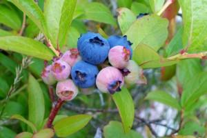 070214 blueberry