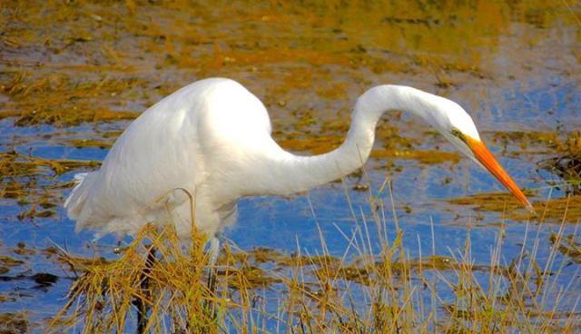 Ken Gagne 071714 Egret