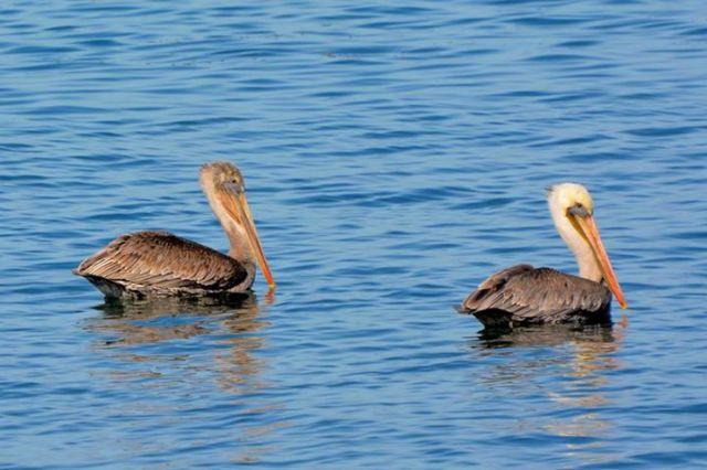 Pelicans Alsea Bay Ken Gagne 101614