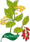 plant flower motif barberry