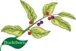 plant flower motif buckthorn