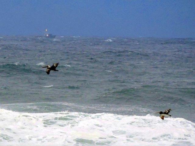 112814 Ken Gagne pelicans