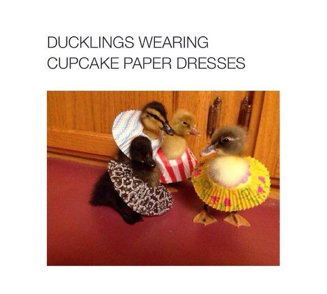 Duckling skirts funny