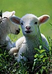 Imbolc motif lambs