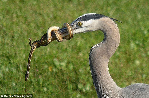 Surprised heron snake never give up