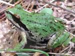 Pacific_treefrog-Siskiyou