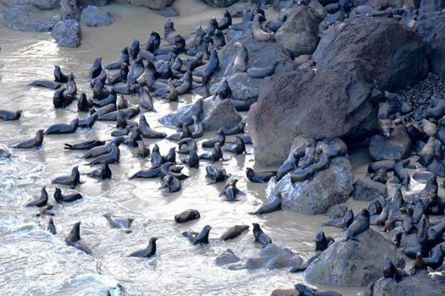 033115 Seals Heceta Head Ken Gagne