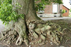 Tilia_platyphyllos linden plant tree