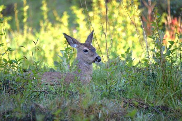 042515 Ken Gagne Yachats Deer