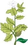 plant motif jimsonweed herb