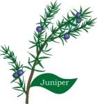 plant motif juniper tree