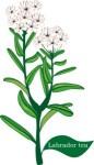 plant motif labrador tea herb