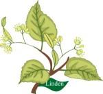 plant motif linden tree