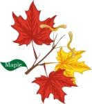 plant motif maple tree