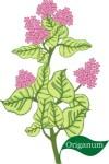 plant motif origanum herb