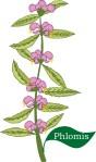 Plant motif phlomis herb