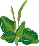 Plant motif Plaintain