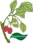 Plant motif Raspberry
