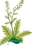 Plant motif shepherd's purse herb