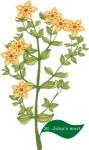 Plant motif StJohnsWort herb