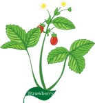 Plant motif strawberry berry fruit