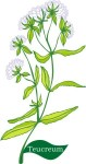 Plant motif teucrium herb wood sage