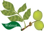 Plant motif walnut tree