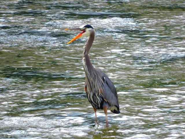 052315 Ken Gagne Yachats Heron