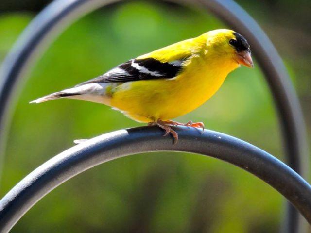 0615 Ken Gagne Goldfinch