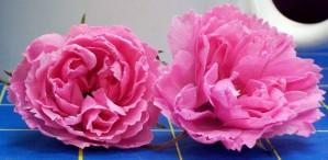 071015 Confetti rose