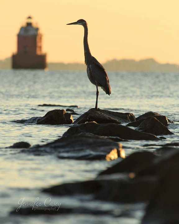 heron Sandy Point State Park Chesapeake Bay Maritime Museum Photo Jennifer Casey Photography