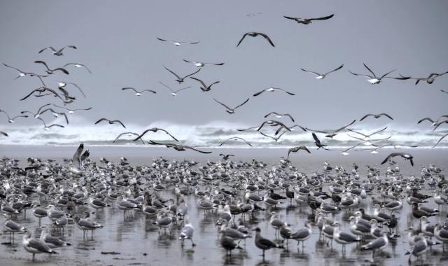 102515 Ken Gagne Yachats Bay gulls