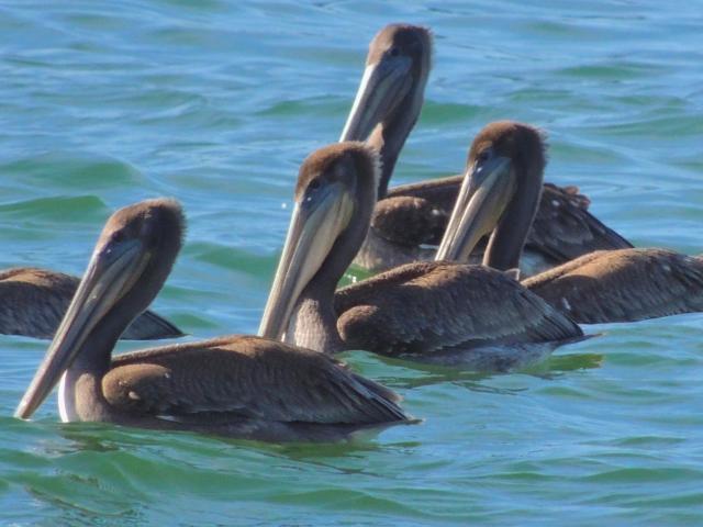102215 Ken Gagne Pelicans