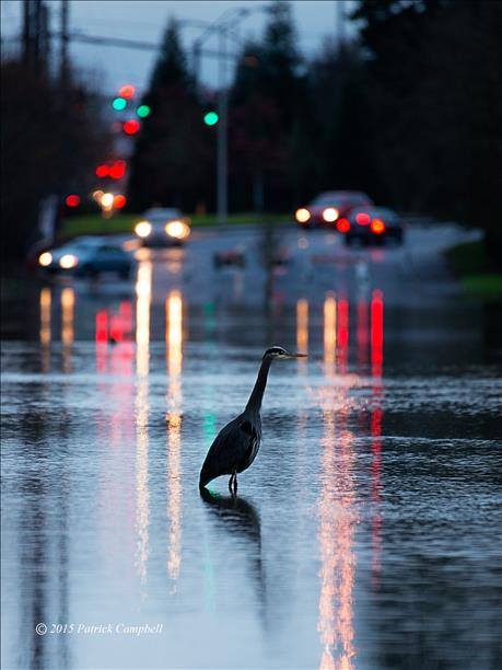 KGW-TV 121015 A blue heron decided to go fishing on Nyberg Lane in Tualatin