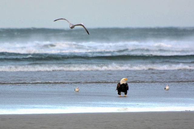 022316 Ken Gagne Yachats eagle
